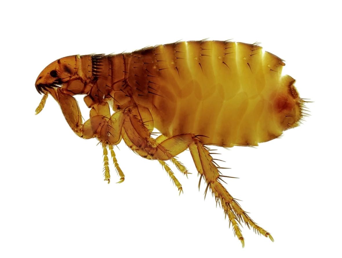 貓狗都會有,人類也不放過:跳蚤,說到飼養寵物,不少人都會擔心跳蚤的問題,無論貓、狗都有可能被跳蚤影響,台灣常見的跳蚤種類「貓蚤」、「狗蚤」便是依此命名,牠們不只造成搔癢,還會傳染「絛蟲症」與「貓抓症」等。