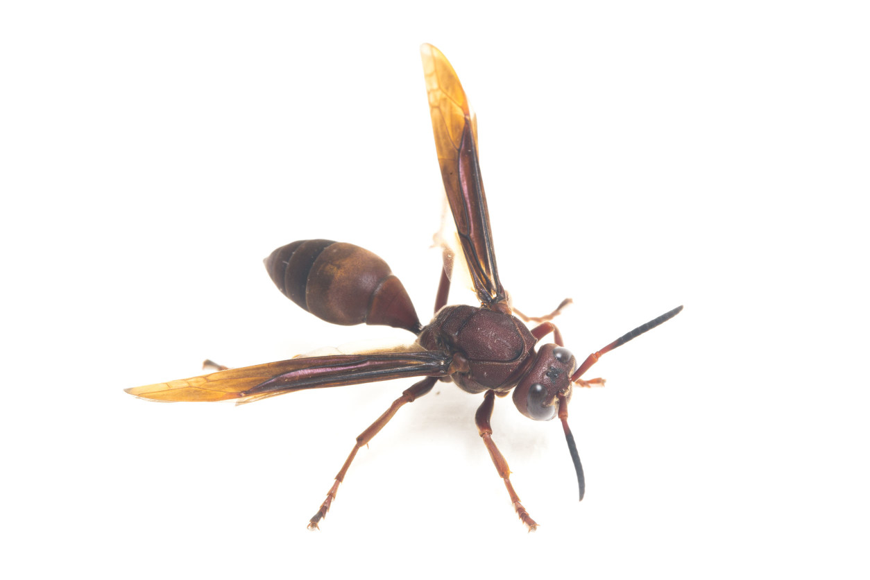 黃蜂是1.4cm-1.8cm左右的小型蜂,其特徵是整體上黃色多,體毛長。攻擊性相當高,即使離巢有適當的距離也會被襲擊。