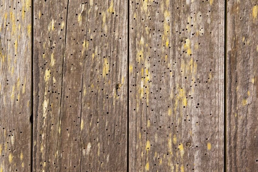 蛀蟲經常會於木材上面造成蛀蝕,形成許多無數的空洞,在成熟後再隨著空洞羽化飛出