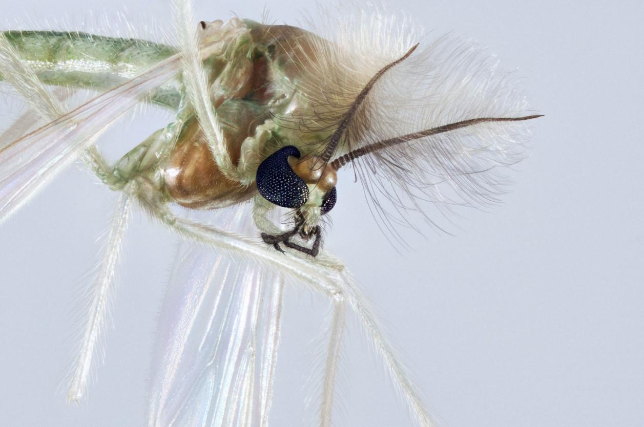 『除搖蚊』堤防大量群體現蹤的搖蚊