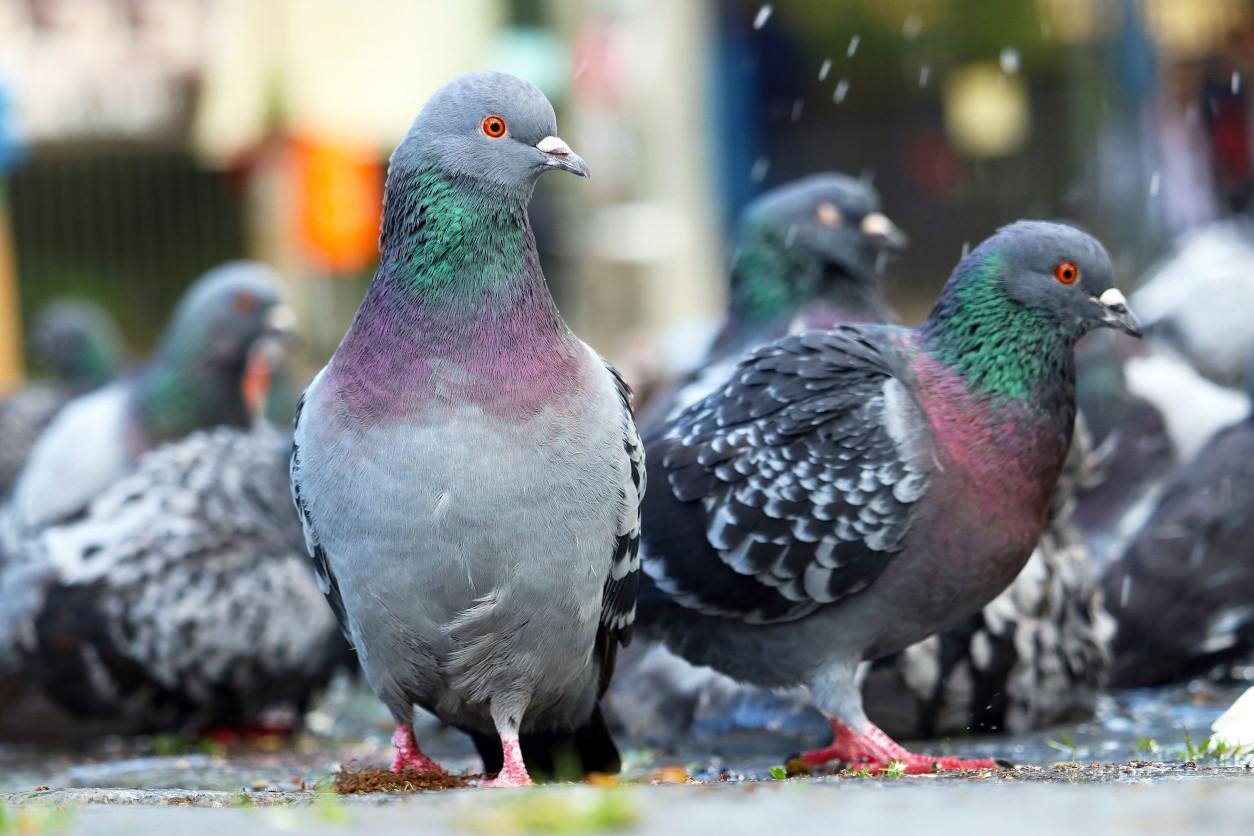 鴿子經常成群飛來,群聚在公園啄食著遊客餵食的食物,若不對應預防,將會對於環境造成危害
