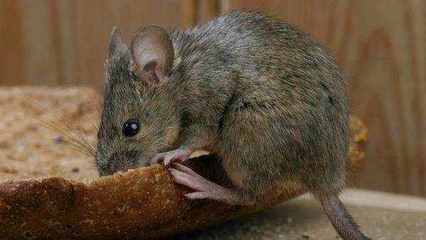 老鼠乍看可能會覺得可愛,但實際上卻是非常有害的生物。不僅對食物與建築造成破壞,還會成為各種傳染病的媒介,成為引發過敏的原因。|潔肯除蟲公司