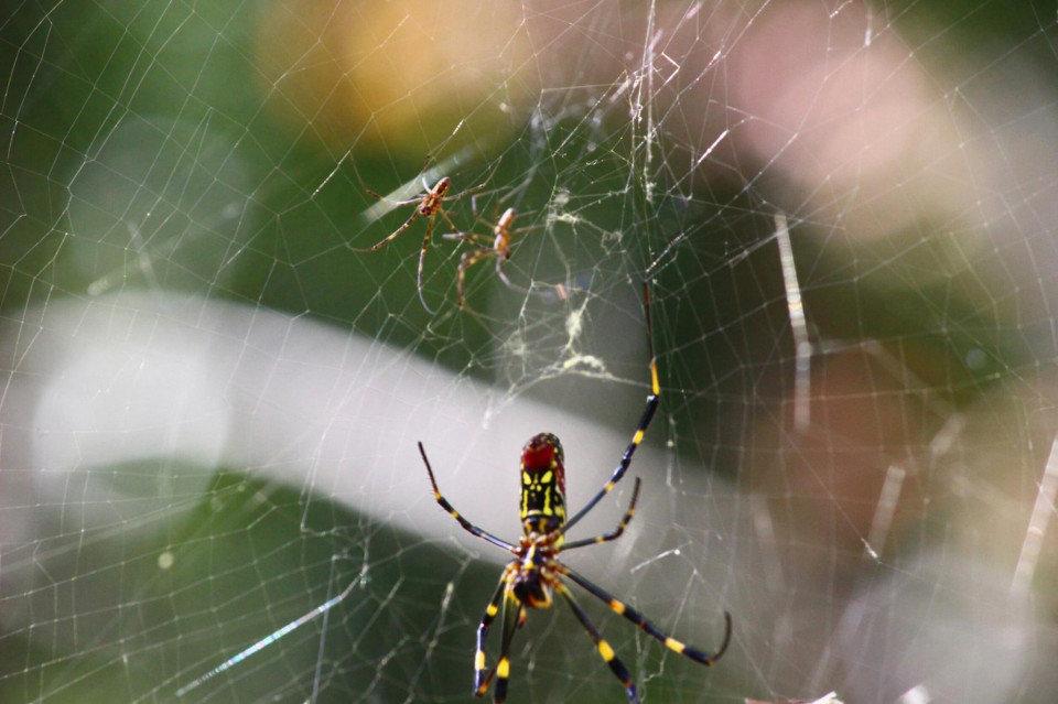 蜘蛛通過絲囊尖端的的突起分泌黏液,這種黏液一遇到空氣即凝結成極細的蛛絲。蜘蛛絲結成的蜘蛛網具有極高的黏性,守株待兔等待昆蟲落入網中是蜘蛛主要的捕食手段。