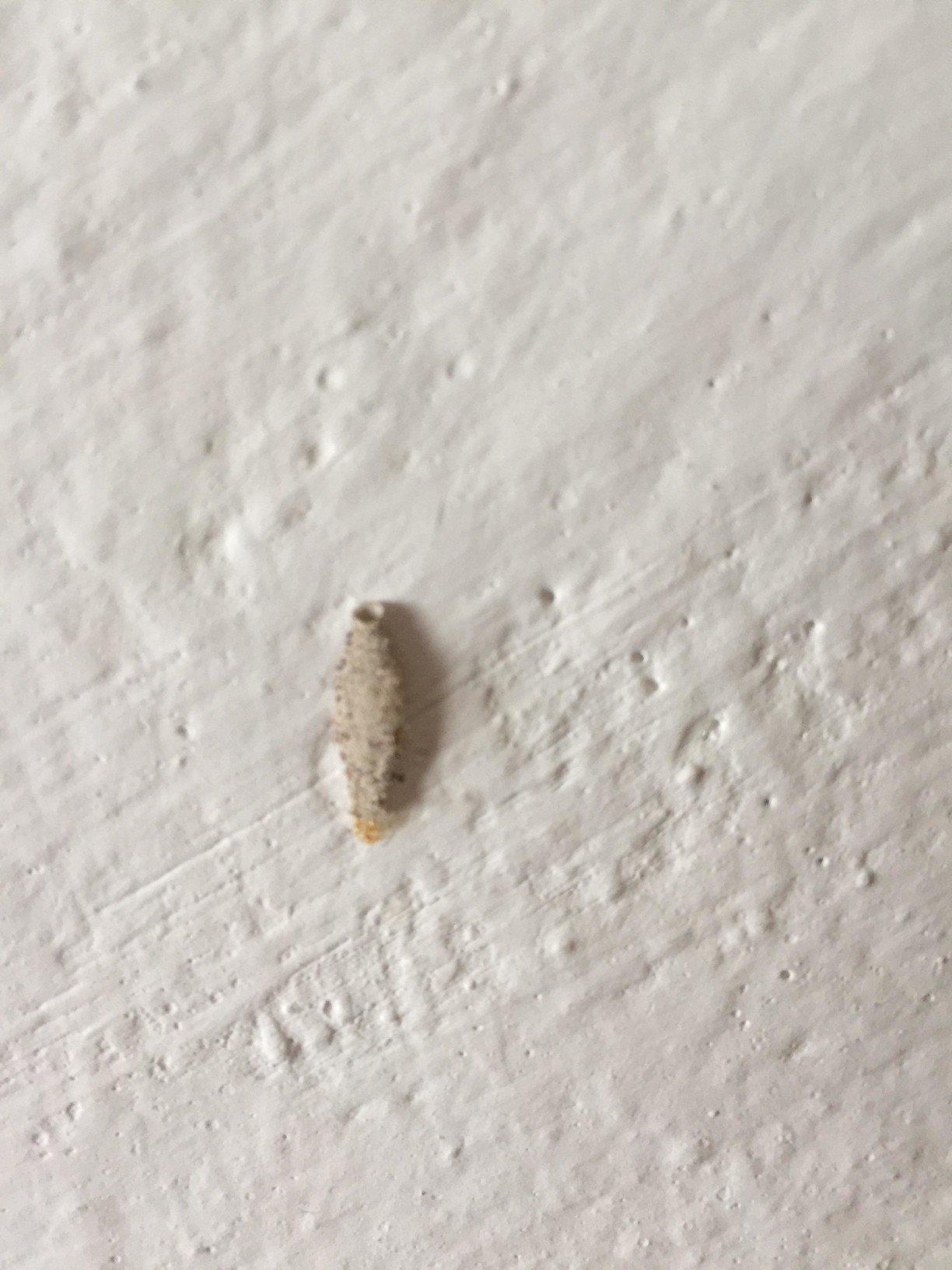 潔白的牆壁上偶爾會出現幾個灰白色的凸起物,好像一塊水泥般地黏著或吊著在牆上。這其實是台灣常見的一種居家害蟲「衣蛾」幼蟲的巢,又被稱做「瓜子蟲」或「蓑衣蟲」。