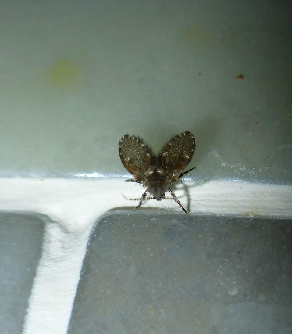 當你看到黑色小蟲翅膀上繁多、平行的翅脈,以及整隻蟲絨毛密佈, 極有可能就是討人厭的蛾蚋。蛾蚋的卵通常於48小時內孵化成幼蟲, 幼蟲居住在人類、牲畜的糞坑、化糞池、污水池,依附於污水內的薄層黏膜內, 食用腐爛動植物或其排泄物、微生物等有機物質。