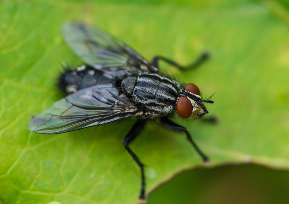 世界衛生組織曾發表關於家蠅及其傳播疾病與傳染病的報告,常見的家蠅吃食物也吃排泄物,他們在攝食過程中成為傳染病的媒介,再將細菌和病毒散播出去。