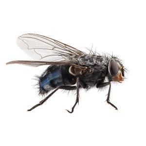 【除蒼蠅】如果你有蒼蠅的困擾,你需要知道蒼蠅習性