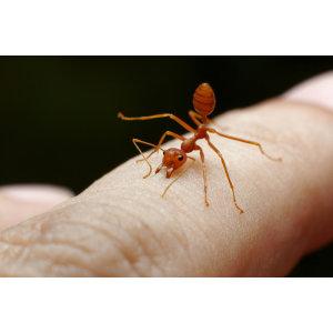 『紅火蟻』強大的外來物種,被咬有如火紋身!!