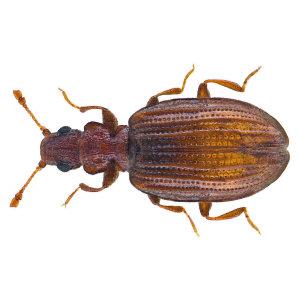 【除灰泥甲蟲】關於灰泥甲蟲入侵,你需要了解的三件事