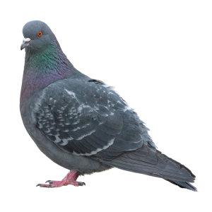 鴿子控制服務