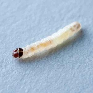 【除衣蛾】白色牆面上的一粒水泥,牆壁上的怪蟲衣蛾