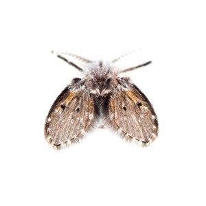 『除蛾蚋』浴室和廚房中經常出現的髒污小蟲