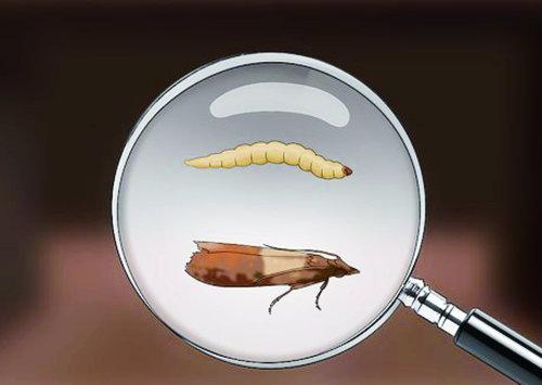 【除印度穀蛾】家裡飛來很多小飛蛾,該用什麼方式才能有效防治印度穀蛾  !