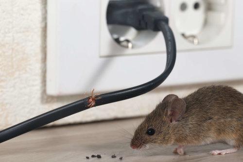 【除老鼠】家裡室內發現老鼠大便,教你如何擺脫老鼠大便的危害 !!